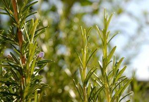 Kurz vor der Blüte: Der Rosmarin in dieser Seife stammt von dieser Pflanze in Heiligkreuz.