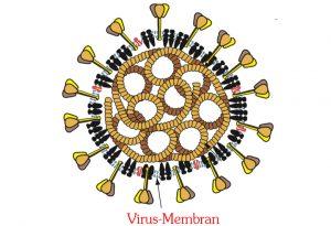 Dieses (fettige) Lipid-Membran, die Virushülle, wird durch Seife zerstört.